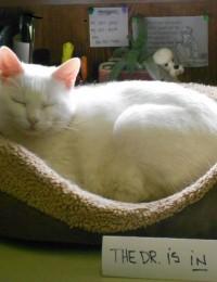 Clinic Cat - Cornelius Vet